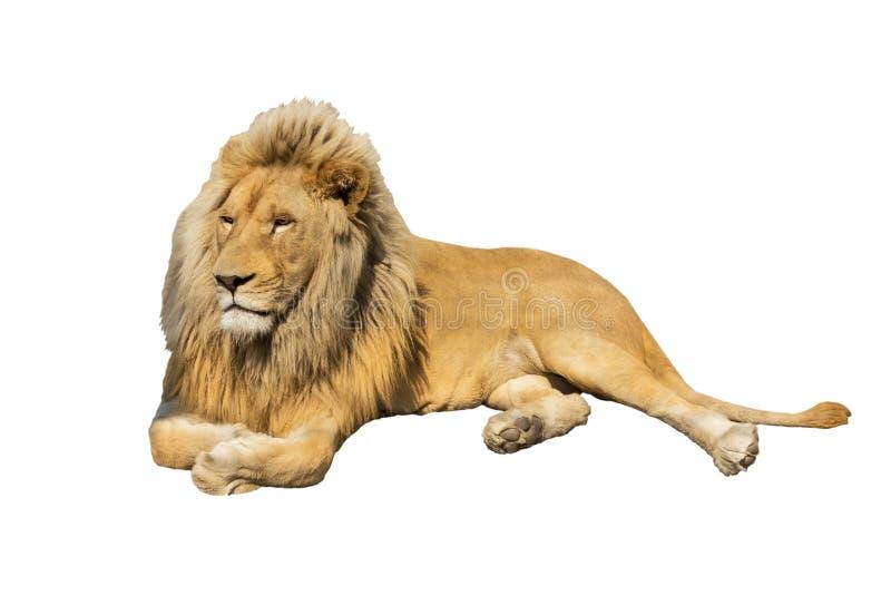 Лев изолированный на белизне стоковая фотография rf