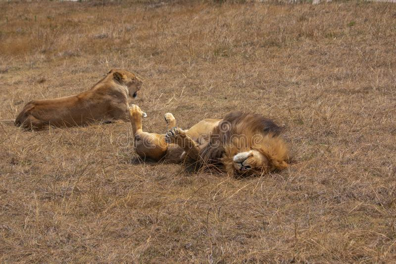 Лев и львица ослабляя в сухой траве пастбища стоковое фото rf