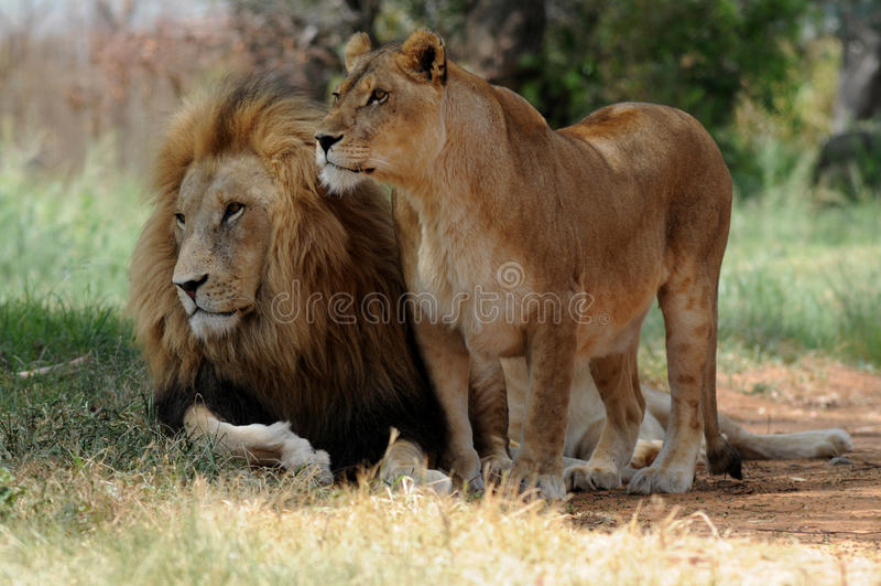 Лев и львица сидя на траве стоковые фото