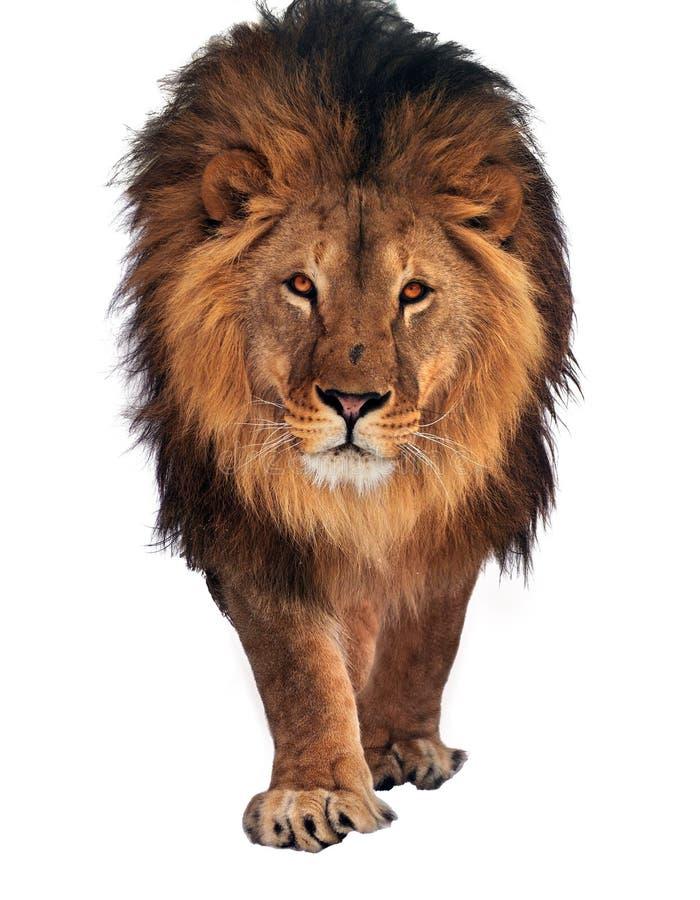 Лев идя и смотря камеру изолированную на белизне