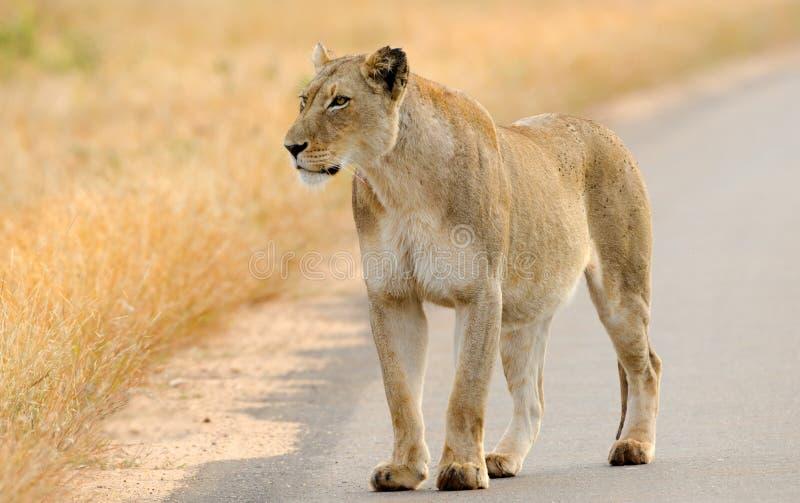 Лев на дороге, национальный парк Kruger, Южная Африка стоковое изображение rf