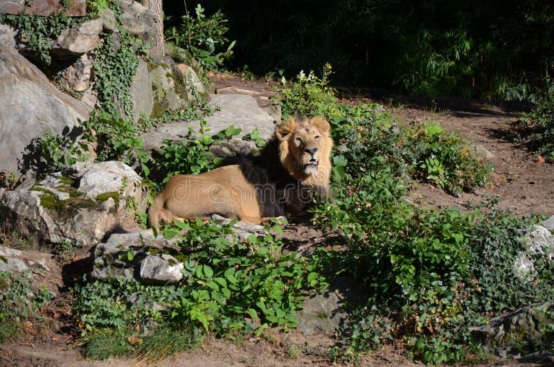 Лев ослабляя в зоопарке стоковые изображения rf