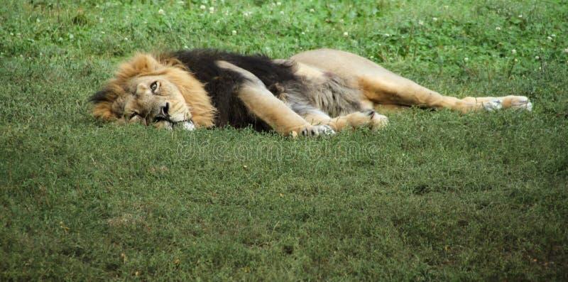 Лев ослабляя в траве стоковые фотографии rf