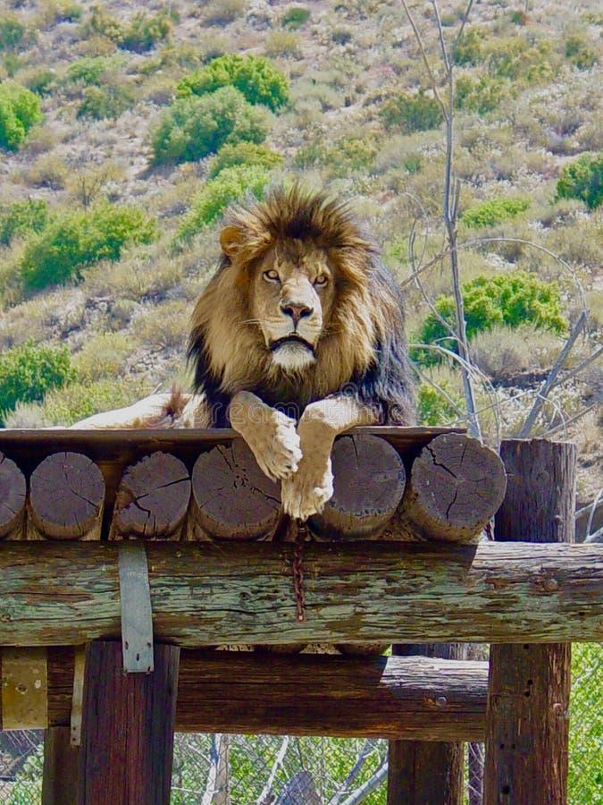 Лев ослабляя стоковое изображение
