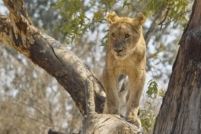 Лев (пантера leo), национальный парк Kruger. стоковое фото rf