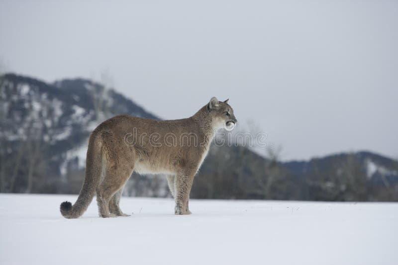 Лев пумы или горы, concolor пумы стоковое фото