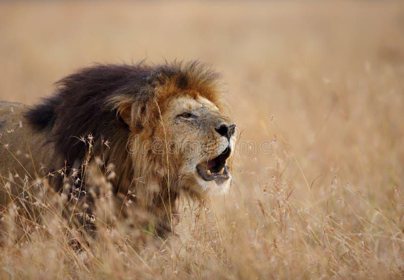 лев ревя в саванне стоковые изображения rf