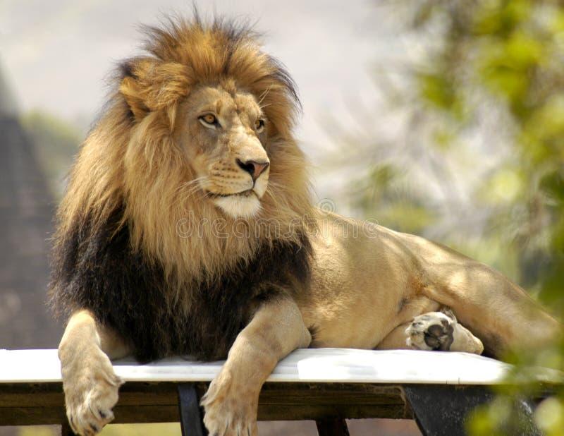 Лев сидя на его троне стоковые изображения
