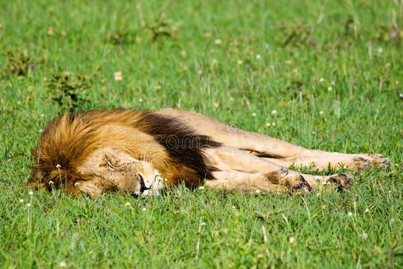 Лев спать одичалый стоковые изображения