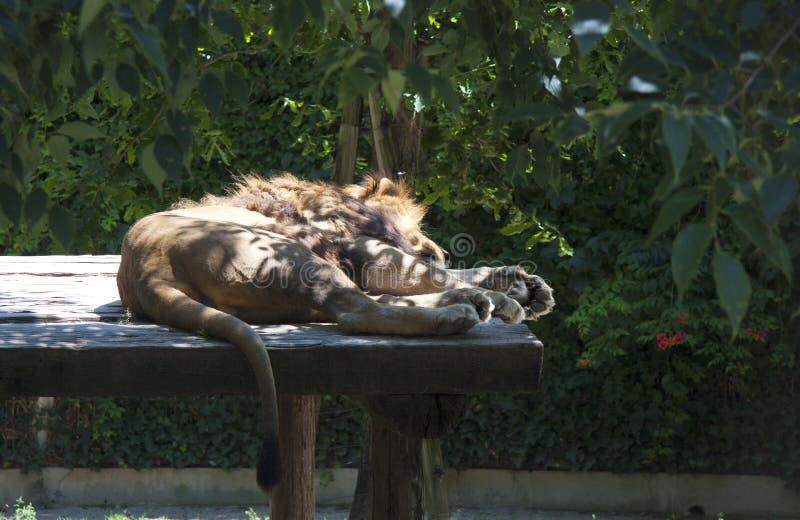 Лев спать стоковое изображение