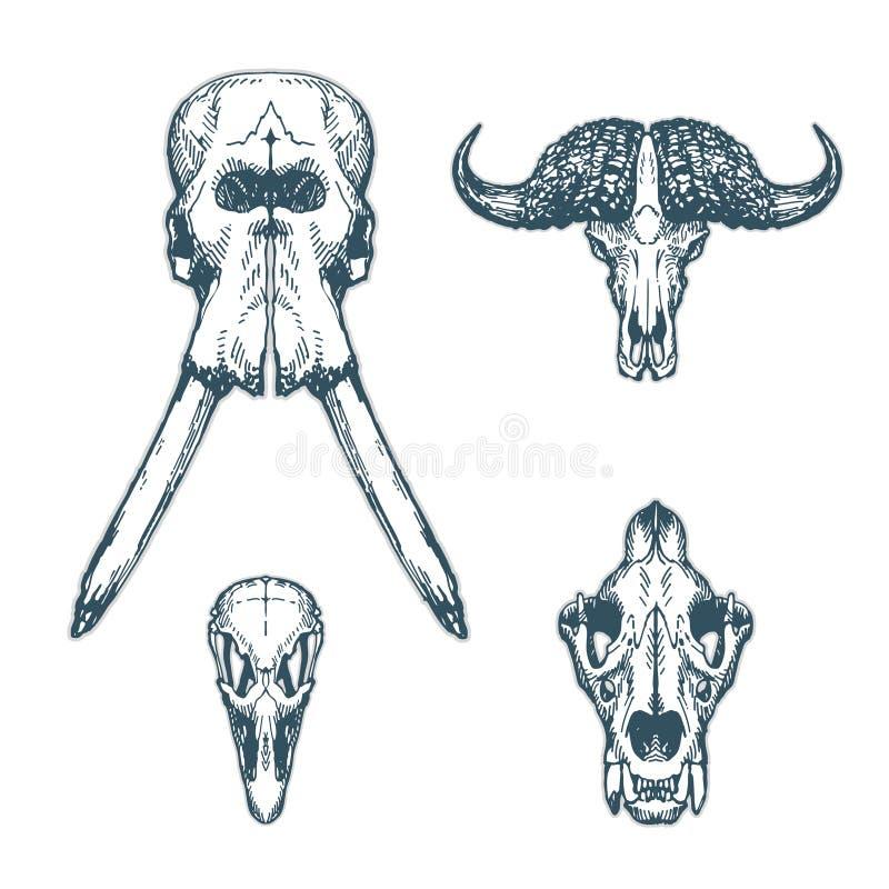 Лев страуса буйвола слона животного черепа установленный стоковые фотографии rf