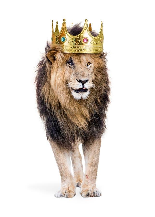 Лев с королем кроны джунглей стоковые фотографии rf