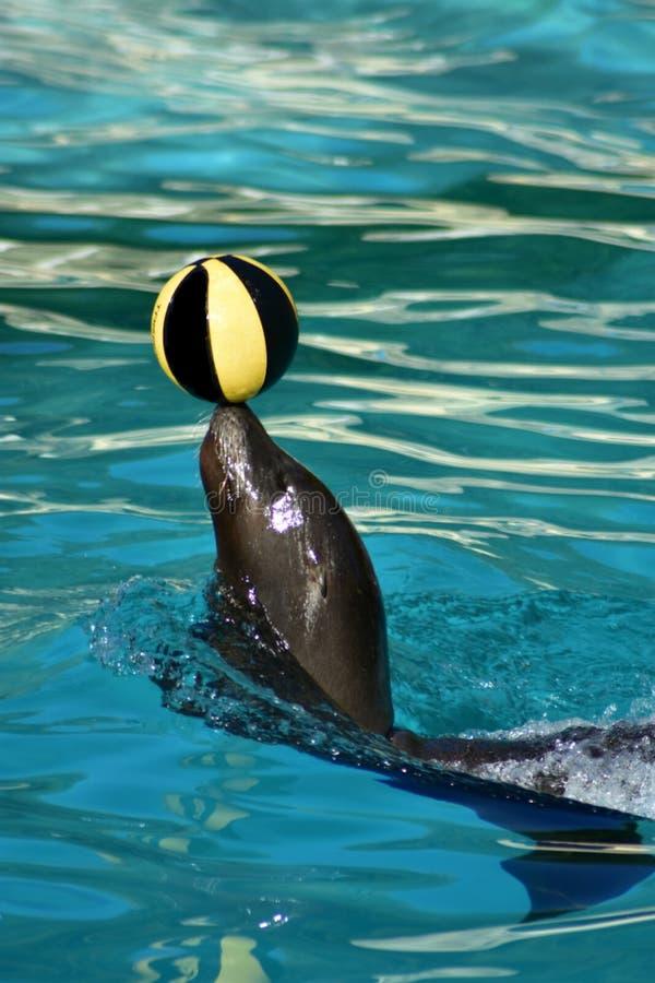 лев ‹â€ ‹â€ моря жонглируя в воде стоковое изображение