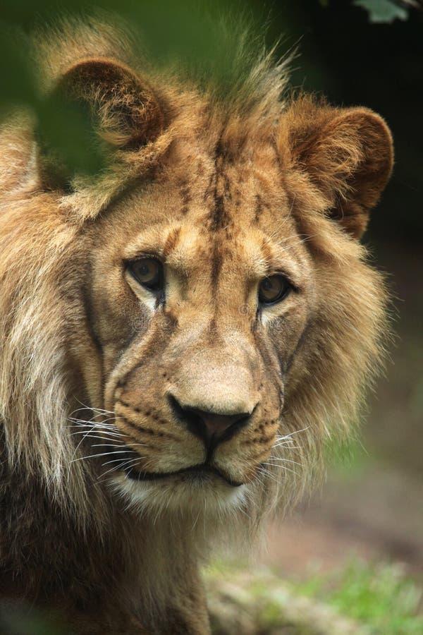 Лев Barbary (пантера leo leo), также известный как лев атласа стоковые фото