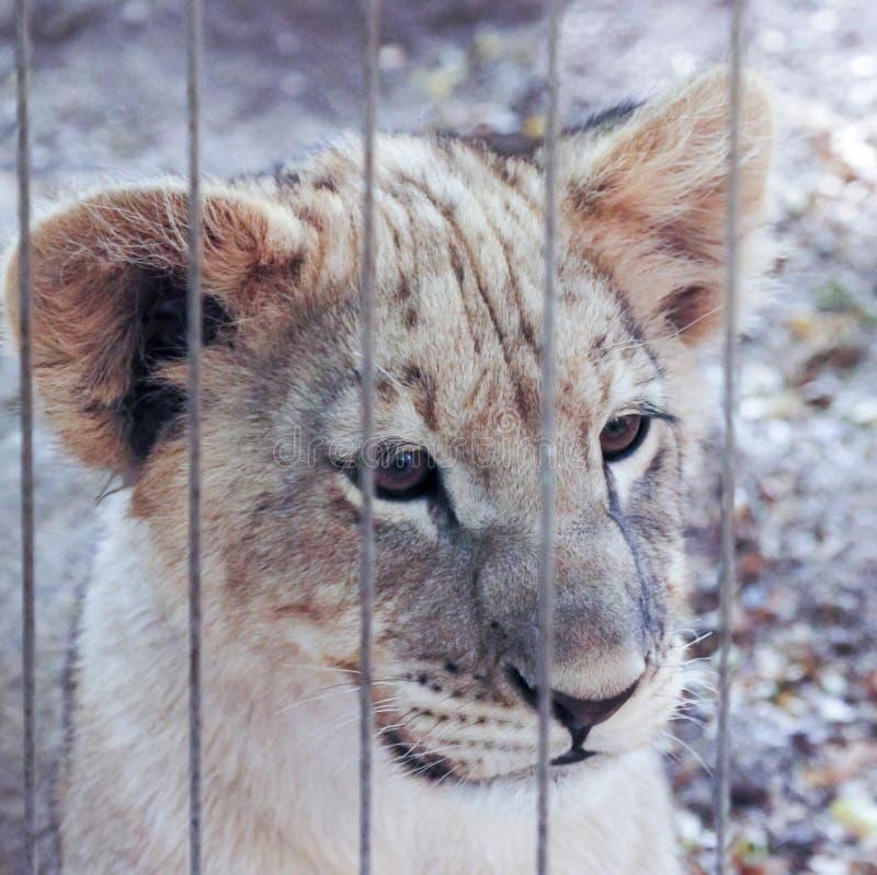 Download Лев Cub вытаращится вне от своего приложения зоопарка Стоковое Фото - изображение насчитывающей уши, brougham: 40581628