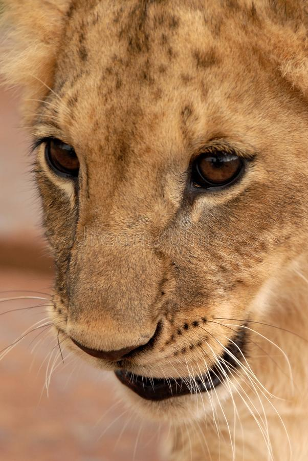 Лев Cub, Южно-Африканская РеспублЍ стоковое изображение rf