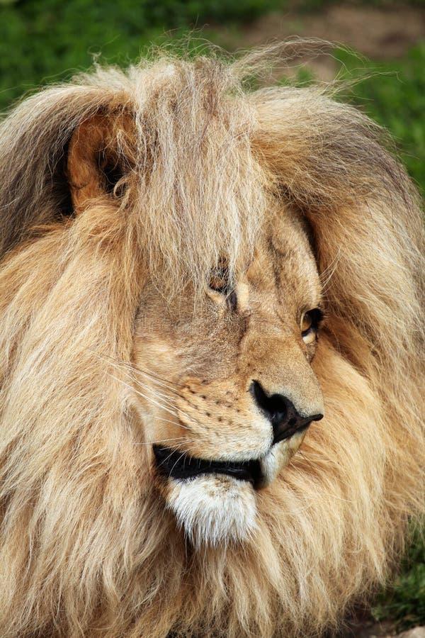 Лев Katanga (bleyenberghi leo пантеры) стоковая фотография