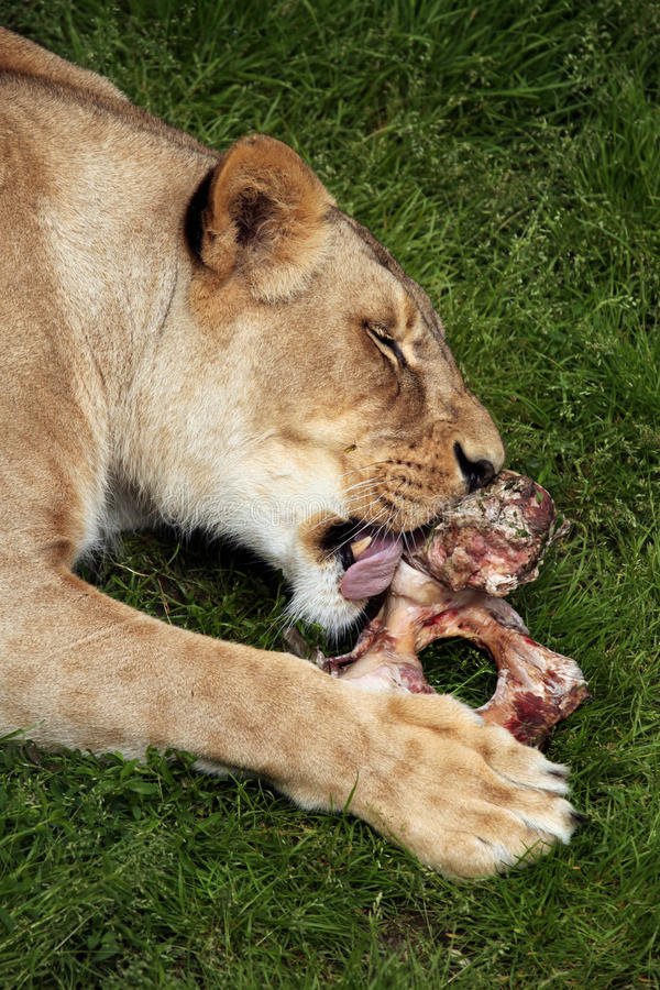 Лев Katanga (bleyenberghi leo пантеры) стоковая фотография rf