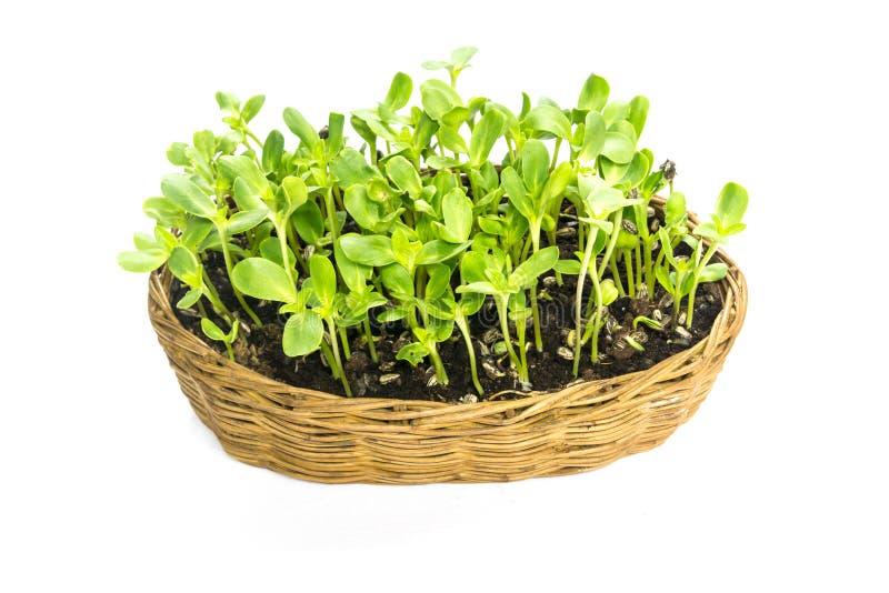 Легкий солнцецвет implant пускает ростии в корзине ротанга стоковые фото