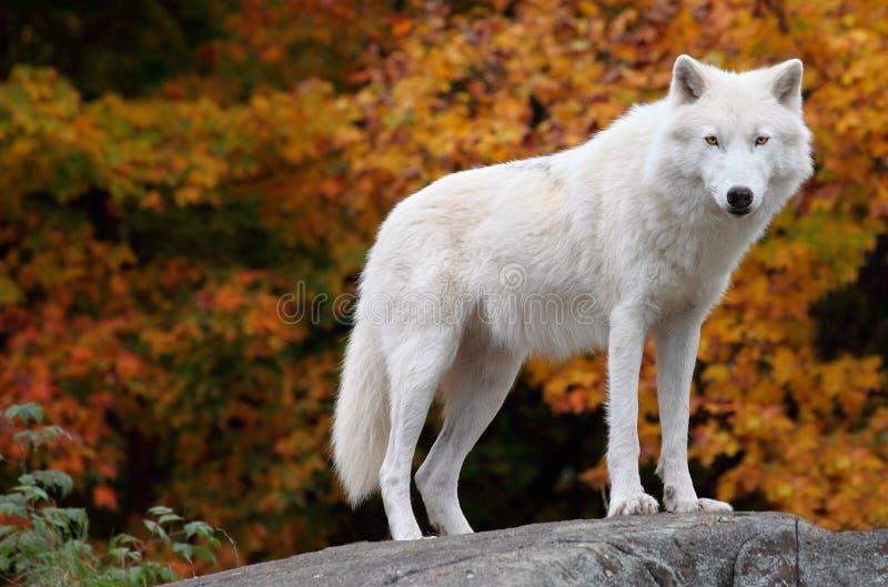 ледовитое падение дня камеры смотря волка стоковая фотография