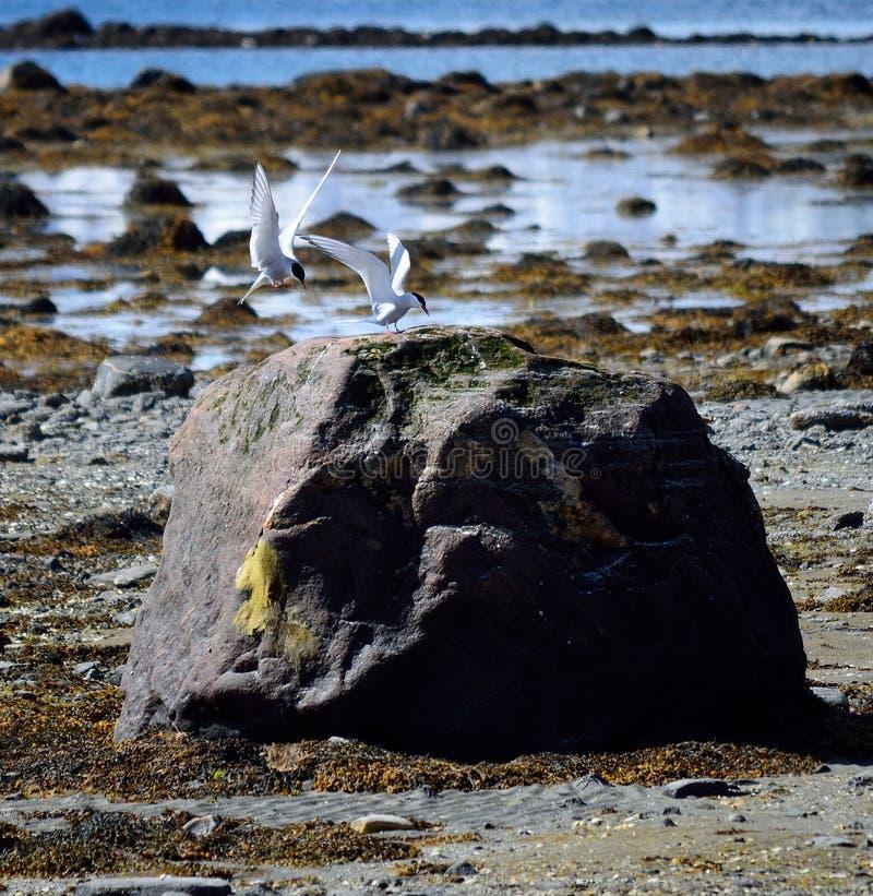 Ледовитые птицы тройки приземляясь на валун берега моря стоковые фотографии rf