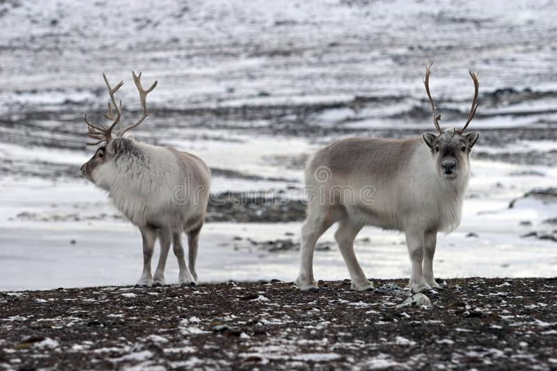 ледовитые северные олени стоковое фото rf