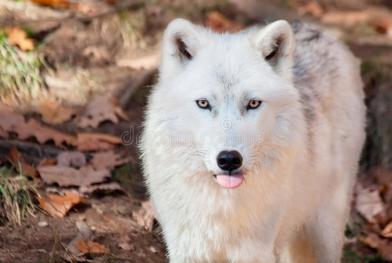 Ледовитый волк вставляя его язык вне на камере стоковое изображение