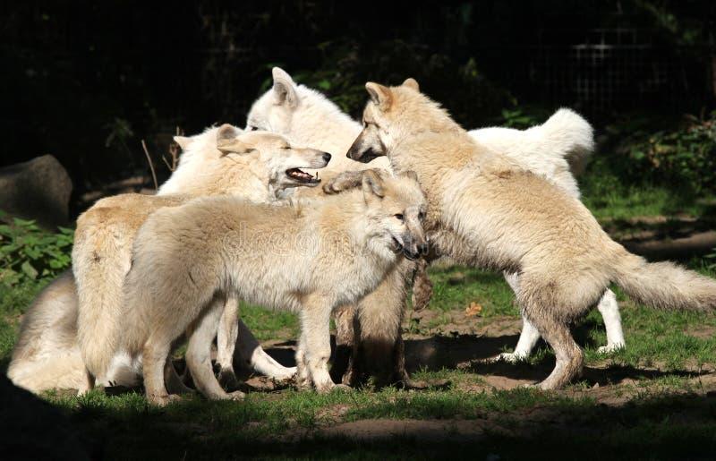 ледовитый волк пакета стоковые изображения