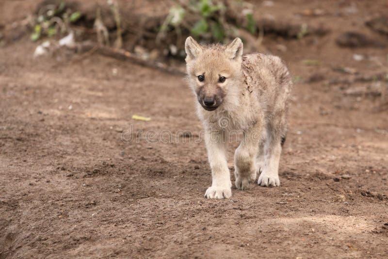 ледовитый волк стоковая фотография