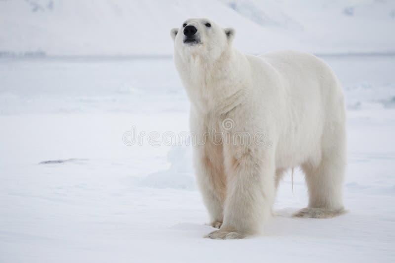 ледовитый король медведя приполюсный стоковое изображение rf