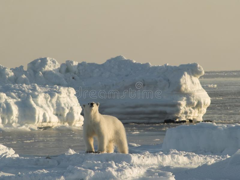 ледовитый король медведя приполюсный стоковое изображение