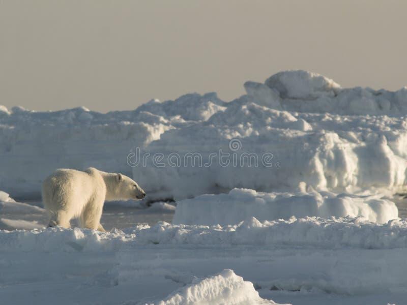 ледовитый король медведя приполюсный стоковые фото