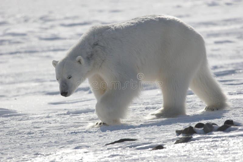 ледовитый король медведя приполюсный стоковые фотографии rf