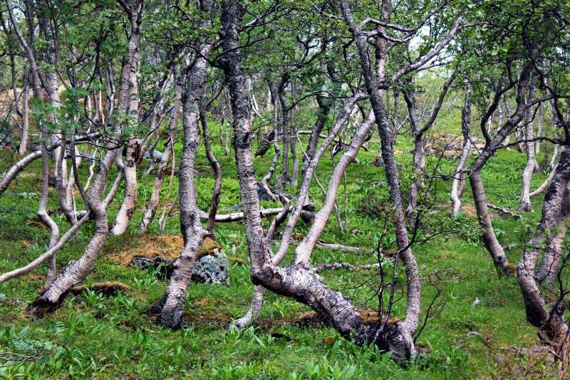 Ледовитый лес gnarled берез карлика и папоротника, Норвегии стоковое изображение