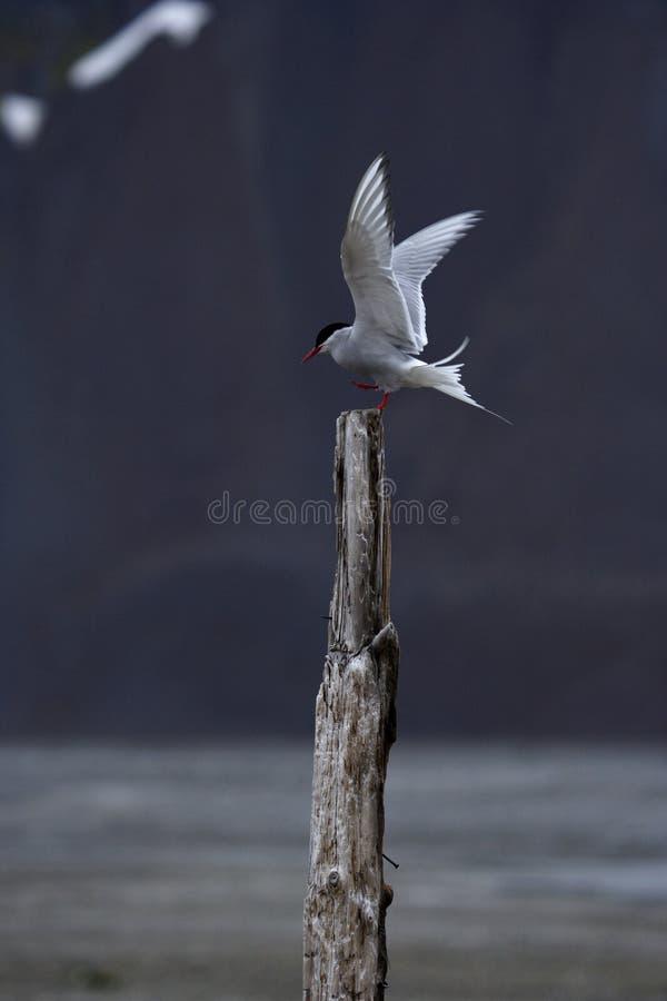 ледовитый tern стоковые фотографии rf