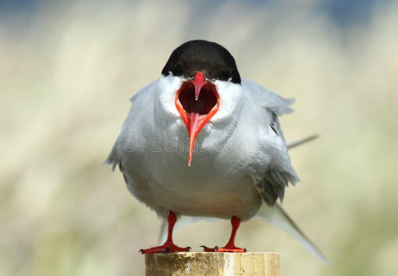 ледовитый tern стоковая фотография