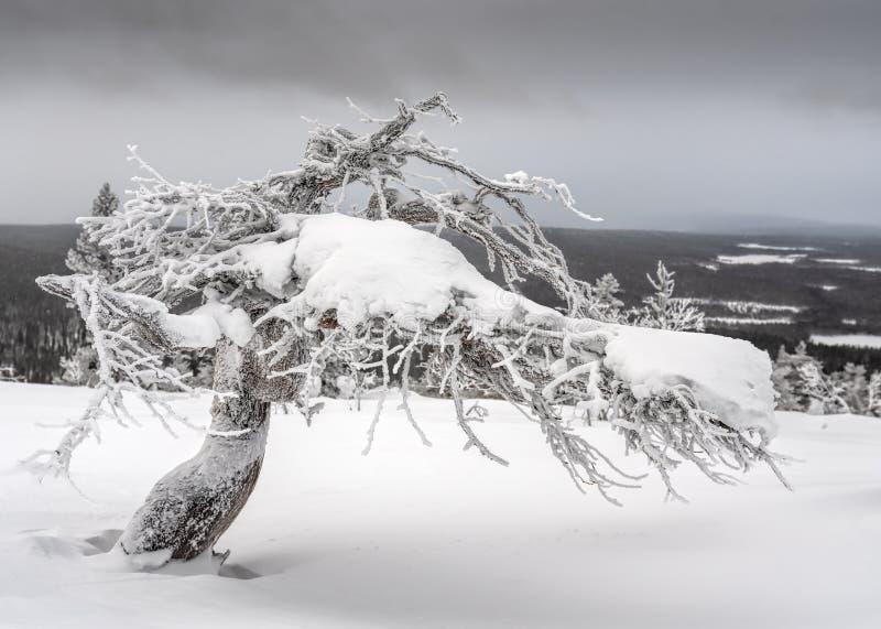 Ледяная переплетенная сосна стоковые изображения rf