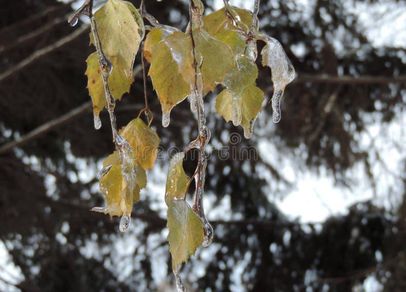 Ледяные листья березы стоковая фотография