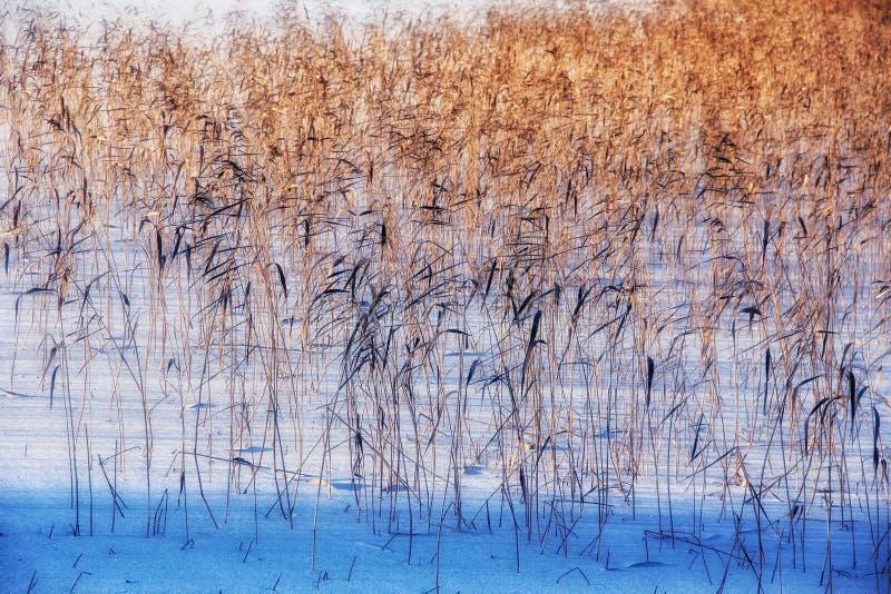 Лед озера зимы тростники outdoors стоковая фотография