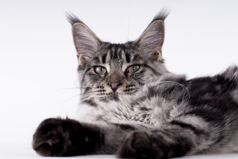 лежать кота стоковая фотография