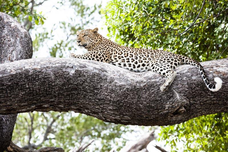 Лежать ослабленный леопардом на ветви стоковое фото rf