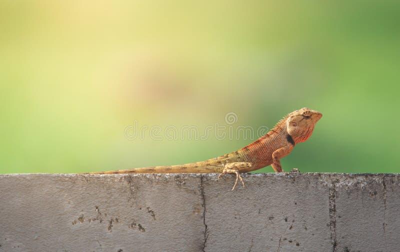 Лежать Calotes восточной ящерицы сада или переменчивой ящерицы versicolor ленивый на стене цемента grunge стоковое изображение rf