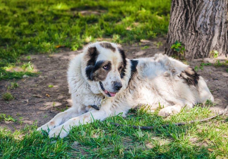 Лежа старая собака стоковая фотография rf