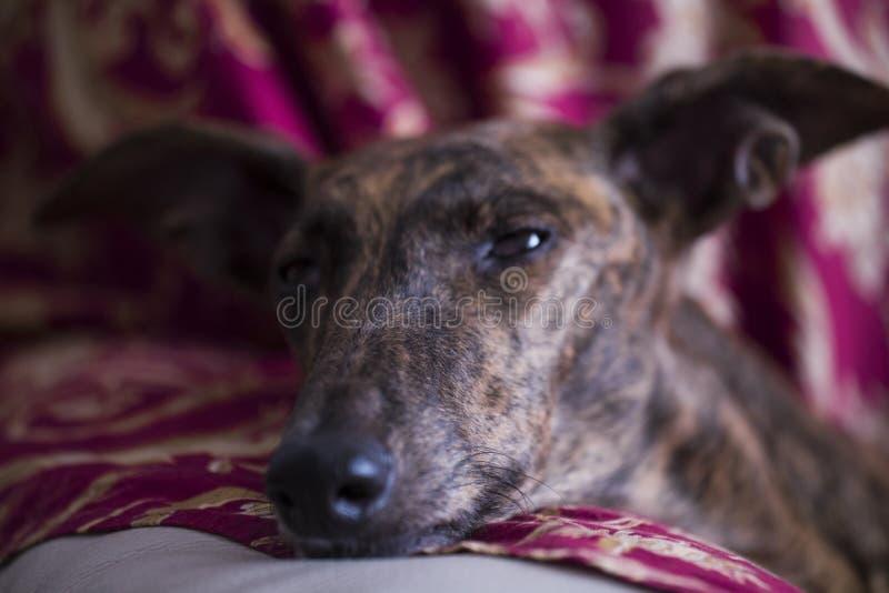 Лежа ` s собаки возглавляет на подушке стоковое фото