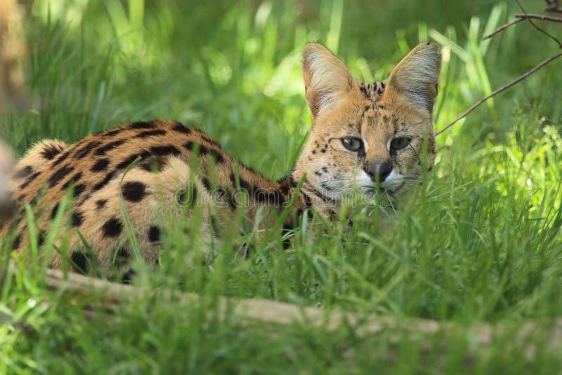 лежа serval стоковые изображения rf