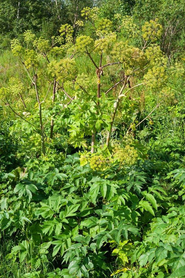 Лекарственное растение: Дягиль стоковые фотографии rf