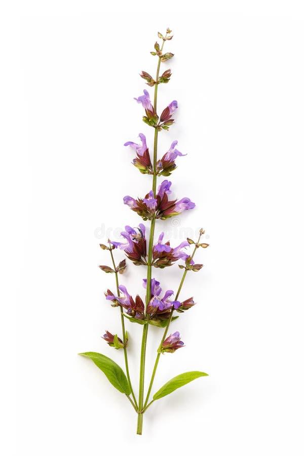 Лекарственное растение шалфея, изолированное на белой предпосылке стоковая фотография rf