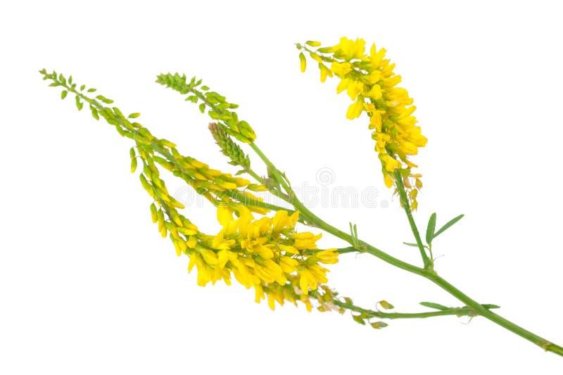 Лекарственное растение: Officinalis Melilotus стоковое фото rf