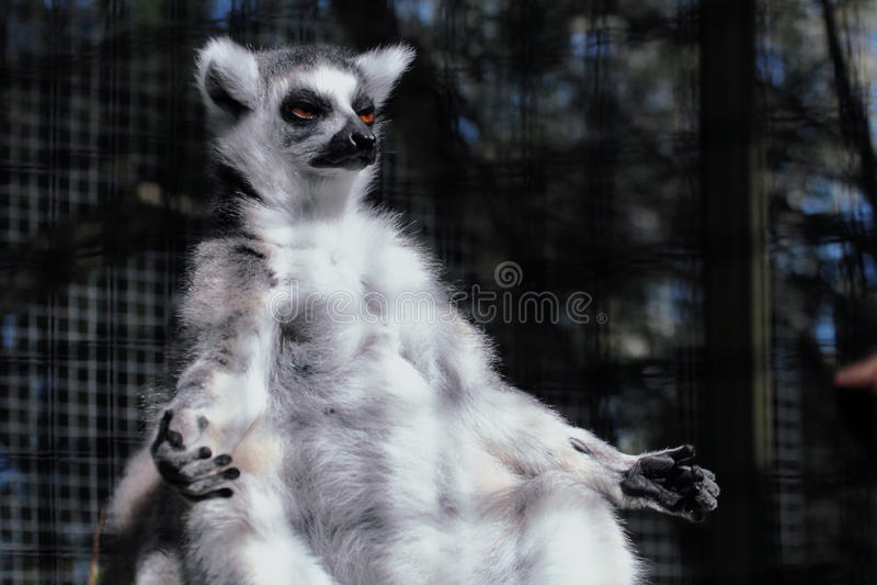 Лемур в положении йоги стоковая фотография