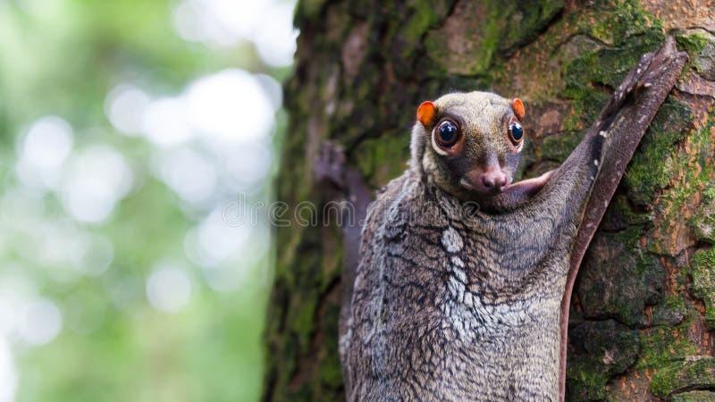 Лемур летания Sunda стоковое фото rf